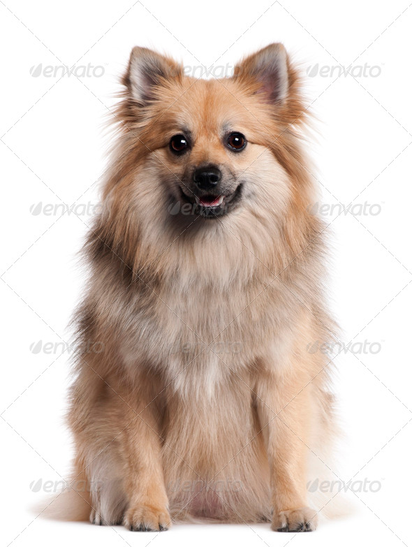 German Spitz, 1 and a half years old, sitting in front of white background - Stock Photo - Images
