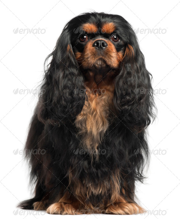 Cavalier King Charles Spaniel, 2 years old, in front of white background - Stock Photo - Images