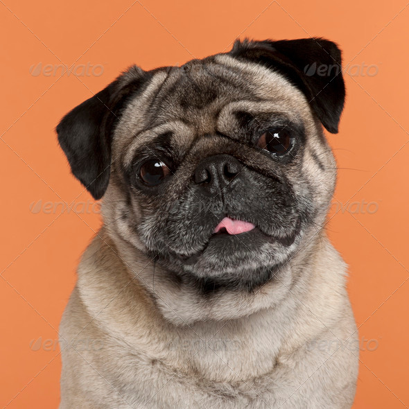 Pug (2,5 years old) - Stock Photo - Images