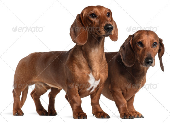 Dachshunds, 4 years old and 7 months old, standing in front of white background - Stock Photo - Images