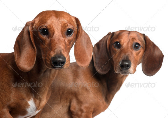 Close-up of Dachshunds, 4 years old and 7 months old, in front of white background - Stock Photo - Images
