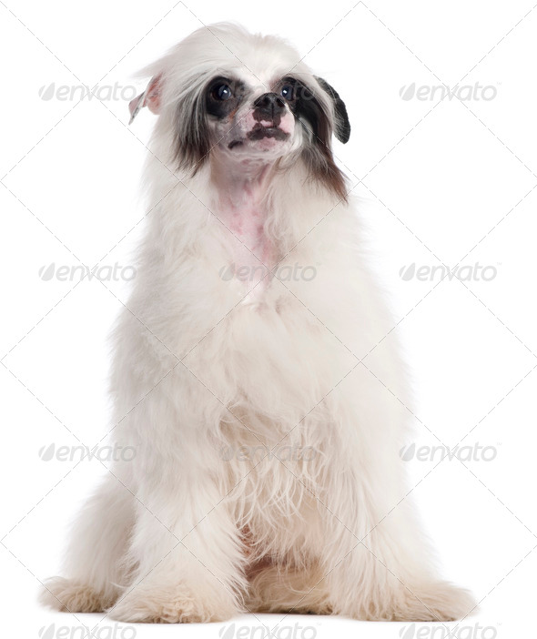 Chinese Crested Dog, 7 months old, sitting in front of white background - Stock Photo - Images