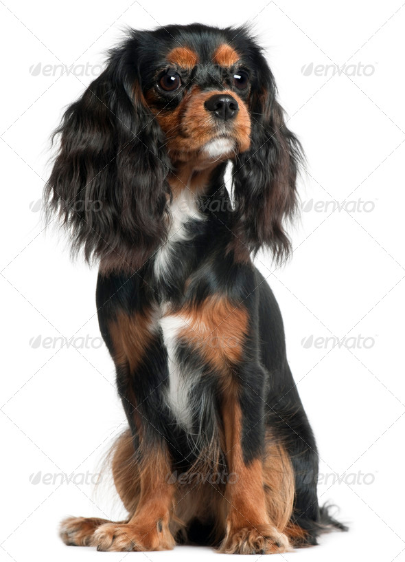Cavalier King Charles Spaniel, 11 months old, sitting in front of white background - Stock Photo - Images