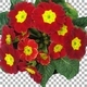 Time-lapse of rotating and opening red primula flower with ALPHA channel, top view - VideoHive Item for Sale