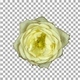 Seamless rotating time-lapse of opening and closing white rose with ALPHA channel, top view - VideoHive Item for Sale