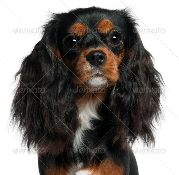 Close-up of Cavalier King Charles Spaniel, 11 months old, in front of white background - Stock Photo - Images