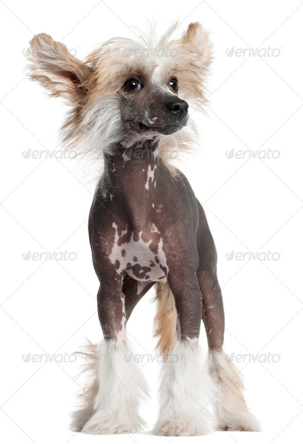 Chinese Crested puppy, 4 months old, standing in front of white background - Stock Photo - Images