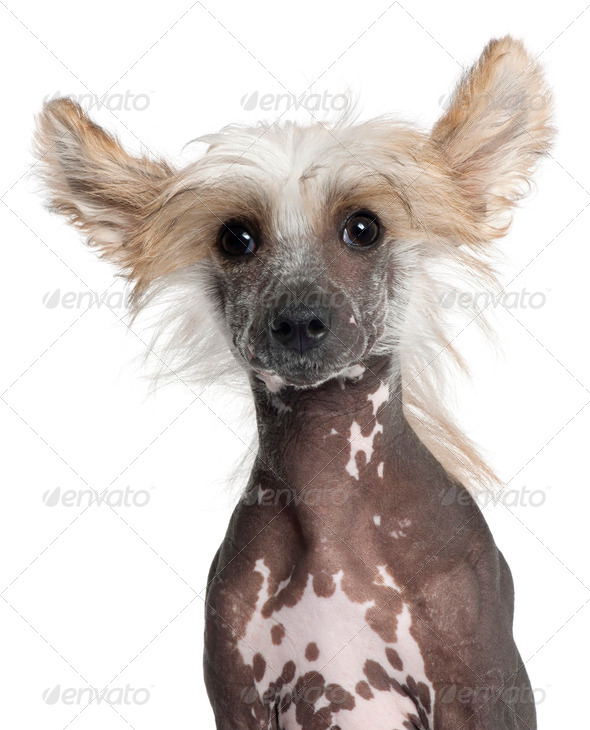 Close-up of Chinese Crested puppy, 4 months old, in front of white background - Stock Photo - Images
