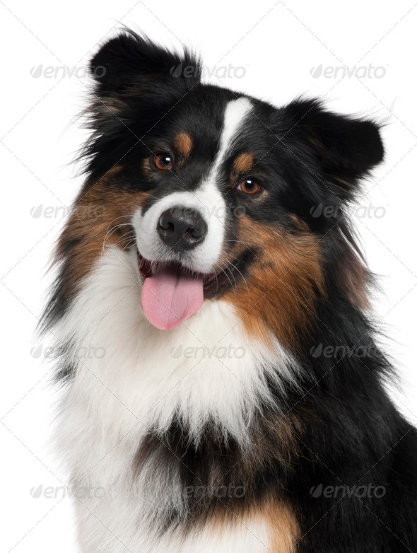 Close-up of Australian Shepherd dog, 2 years old, in front of white background - Stock Photo - Images