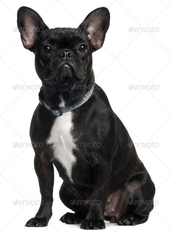 French bulldog, 9 months old, sitting in front of white background - Stock Photo - Images