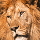 Close up portrait of a mighty lion - PhotoDune Item for Sale