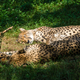Cheetah lying on the ground under the sunlight with a blurry background - PhotoDune Item for Sale