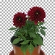 Time-lapse of opening red dahlia flower with ALPHA channel - VideoHive Item for Sale