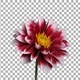 Time-lapse of blooming red dahlia with ALPHA channel - VideoHive Item for Sale