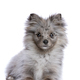 blue merle pomerian - PhotoDune Item for Sale