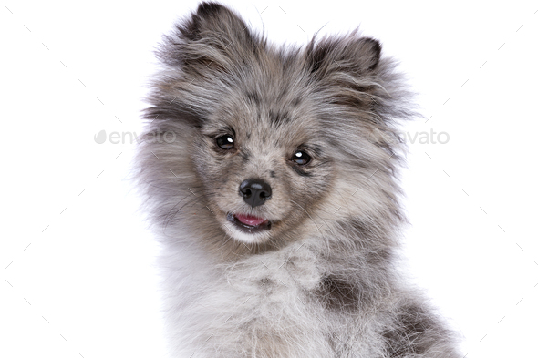 blue merle pomerian - Stock Photo - Images