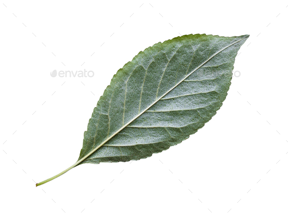 back side of natural green leaf of cherry tree - Stock Photo - Images