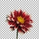 Time-lapse of blooming red-white dahlia flower with ALPHA channel - VideoHive Item for Sale