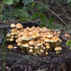 Hypholoma dispersum fungi on dead wood - PhotoDune Item for Sale