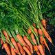 Fresh carrots. Harvest organic carrots on the ground. - PhotoDune Item for Sale
