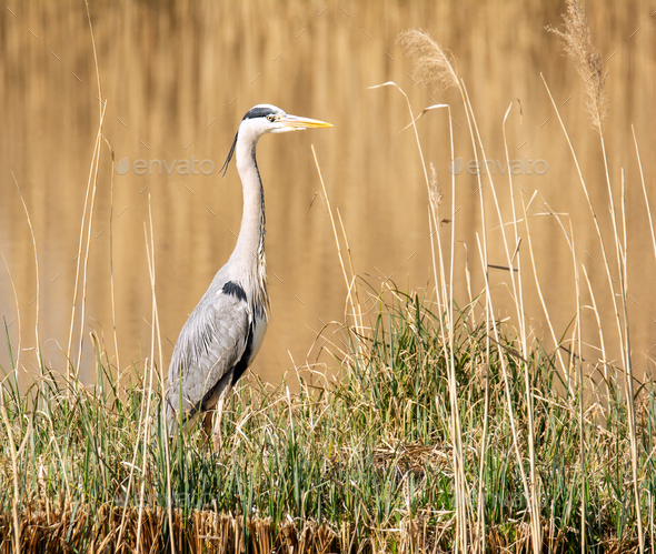 Grey heron bird standing at the water - Stock Photo - Images