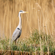 Grey heron bird standing at the water - PhotoDune Item for Sale