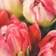 Fresh spring bouquet of tulips with dew drops - PhotoDune Item for Sale