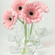 Pink gerberas in vases on white background, close up - PhotoDune Item for Sale