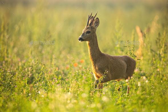 Roe deer walking on meadow in summertime nature - Stock Photo - Images