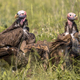 African vultures scavenging - PhotoDune Item for Sale
