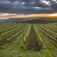 Vineyard in foggy hills - PhotoDune Item for Sale