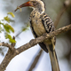Southern red billed hornbill - PhotoDune Item for Sale