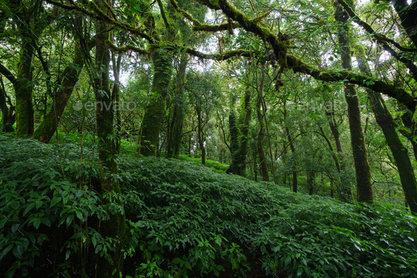 Tropical Rain Forest at Doi Inthanon National Park Chiang Mai Thailand - Stock Photo - Images