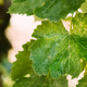 Powdery Mildew On Leaves Of Grape. Plant Disease. Bad Harvest - PhotoDune Item for Sale