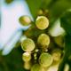 Powdery Mildew On Fruits And Leaves Of Grape. Plant Disease. Bad Harvest - PhotoDune Item for Sale