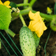 Organic Green Cucumber Growing On Vines In Vegetable Garden - PhotoDune Item for Sale
