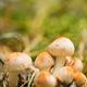 Kuehneromyces Mutabilis Mashrooms Growing Among Pine Needles In Autumn Forest - PhotoDune Item for Sale