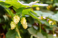 Close-up of hop cones with dew drops on it - PhotoDune Item for Sale