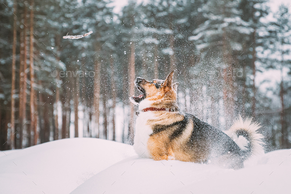 Funny Dog Playing In Snowy Forest In Winter Evening. Deep Snowdrift - Stock Photo - Images