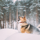 Funny Dog Playing In Snowy Forest In Winter Evening. Deep Snowdrift - PhotoDune Item for Sale