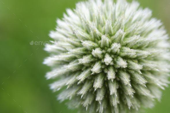 Globe thistle flower close up - Stock Photo - Images