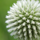 Globe thistle flower close up - PhotoDune Item for Sale