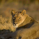 African lion, Panthera leo, female lying on ground, Moremi Reserve, Botswana, Africa. - PhotoDune Item for Sale