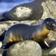 Galápagos Sea Lion, Galápagos National Park, Ecuador - PhotoDune Item for Sale