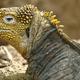 Galápagos Land Iguana, Galápagos National Park, Ecuador - PhotoDune Item for Sale