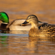 Two mallards swimming in water in autumn nature - PhotoDune Item for Sale