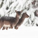 Two baby fallow deers standing on meadow in winter - PhotoDune Item for Sale