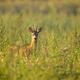Roe deer buck standing on meadow in summertime nature - PhotoDune Item for Sale