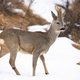 Roe deer walking on snowy glade in winter nature - PhotoDune Item for Sale