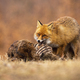 Hungry red fox feeding on meadow in autumn nature - PhotoDune Item for Sale